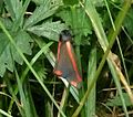 Cinnabar Moth. (Tyria jacobaeae) - Flickr - gailhampshire.jpg