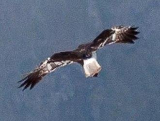 Réunion harrier - Male in flight