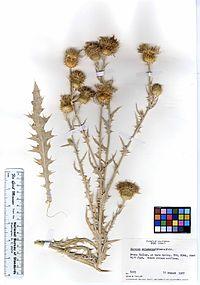 Cirsium mohavense (5885415343).jpg