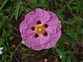 Cistus purpureus2.jpg