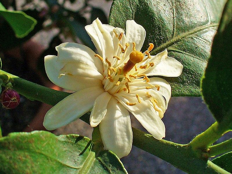 fleurs du citronnier ses étamines et son pistil