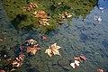 City of London Cemetery Memorial Gardens pond floating fallen leaves 02.jpg