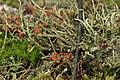 Cladonia sp. (38510285194).jpg
