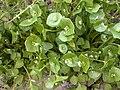 Claytonia perfoliata baie-authie 80 16042002 12.JPG