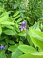 Clematis albicoma hybrid - Flickr - peganum.jpg