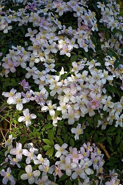 File:Clematis montana var. rubens at Myddelton House, Enfield, London, England detail 02.jpg
