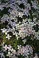 Clematis montana var. rubens at Myddelton House, Enfield, London, England detail 02.jpg