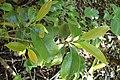 Cleyera japonica kz01.jpg