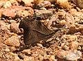 Club Beak Libythea myrrha by Dr. Raju Kasambe DSCN4979 (4).jpg