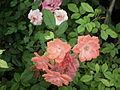 Cluster flowered rose from Lalbagh flower show Aug 2013 8484.JPG