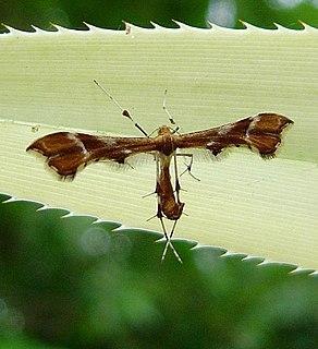 <i>Cnaemidophorus</i> Plume moth genus