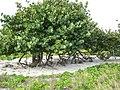 Coccoloba uvifera-Cuba.jpg