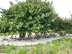 Kokkoloba gronowa