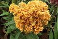 Cockscomb or Celosia cristata7338.JPG