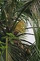Coconut Flower - Kerala - IMG 3401.jpg