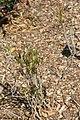 Codiaeum variegatum Picassos Paintbrush 2zz.jpg