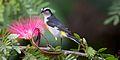 Coereba flaveola -Andros, Bahamas-8 (1).jpg