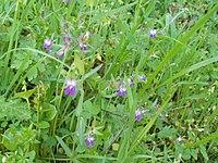 Collinsia sparsiflora.jpg