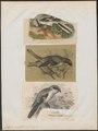 Collyrio excubitor - 1700-1880 - Print - Iconographia Zoologica - Special Collections University of Amsterdam - UBA01 IZ16600383.tif