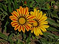 Colorful flower (AP4P1115 1PS) (29300906490).jpg