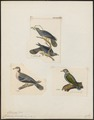 Columba fasciata - 1700-1880 - Print - Iconographia Zoologica - Special Collections University of Amsterdam - UBA01 IZ15600333.tif