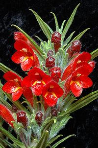 C. flexiflora