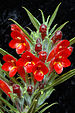 Columnea flexiflora -1.jpg