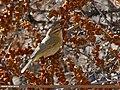 Common Chiffchaff (Phylloscopus collybita) (28540452066).jpg