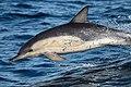 Common Dolphin (23716626394).jpg