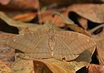 Common Earl (Tanaecia julii) at Samsing, Duars, West Bengal W IMG 6046.jpg