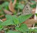Common Five-ring (Ypthima baldus) at Samsing, Duars, West Bengal W IMG 5908.jpg