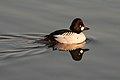 Common Goldeneye 1798.jpg