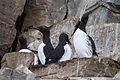 Common Murre (Uria aalge) (13668045754).jpg