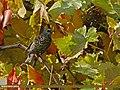 Common Starling (Sturnus vulgaris) (23630538834).jpg