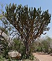 Common Tree Euphorbia (Euphorbia ingens) (31624528253).jpg