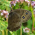 Common Wood-Nymph (Cercyonis pegala) (37594214962).jpg