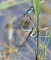 Common bluetail 3388-9.jpg