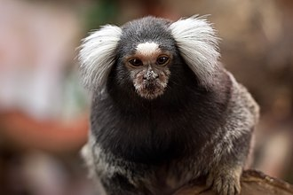 Common marmoset - Common marmoset has white tufted-ears.