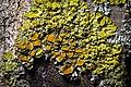 Common orange lichen (49661645552).jpg