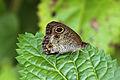 Common three ring (Ypthima pandocus corticaria) S.jpg