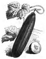 Concombre long vert d'Athènes Vilmorin-Andrieux 1883.png