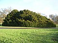 Conifer clump, the Hirsel Country Park - geograph.org.uk - 1078487.jpg