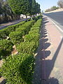 Conocarpus landscaping kuwait.jpg
