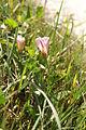 Convolvulus arvensis PID1190-1.jpg