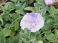 Convolvulus sabatius2.jpg