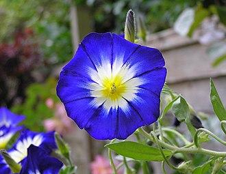 Convolvulus - Cultivated Convolvulus tricolor