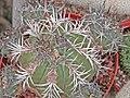 Copiapoa echinoides 2.jpg