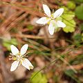 Coptis trifolia in mount Norikura.JPG