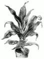 Cordyline fruticosa.png