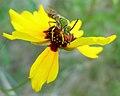 Coreopsis tinctoria var. atkinsoniana with insect.jpg